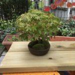 もみじとまるばの木のミニ盆栽.盆栽棚を作ってみた.