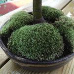 ミニ盆栽と苔.2018年12月